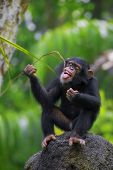 stock photo of omnivores  - Young Common Chimpanzee sitting in the wild - JPG