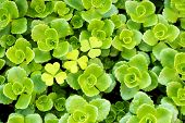 stock photo of angiosperms  - A succulent plant named Stonecrop or Crassula - JPG