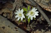foto of windflowers  - Anemone nemorosa. The first snowdrops in spring forest. ** Note: Visible grain at 100%, best at smaller sizes - JPG
