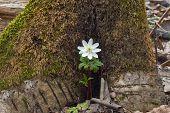 image of windflowers  - Anemone nemorosa - JPG
