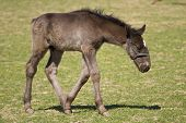 stock photo of foal  - Foal of Old Kladrub black horse on pasture - JPG
