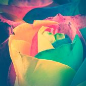 foto of rose close up  - Close-up shot of colorful Rainbow rose. Toned image ** Note: Shallow depth of field - JPG