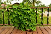 foto of ivy  - ivy Trees grow  On Wooden wall in the morning - JPG