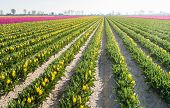 picture of yellow buds  - Plant beds with budding and yellow blooming tulips diagonally into the picture early in the morning in springtime - JPG