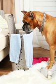 stock photo of dog clothes  - Dog demolishes clothes in messy room - JPG