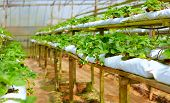 picture of row houses  - growing strawberry rows in a green house - JPG