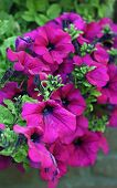foto of petunia  -  Petunia surfina plant in magenta color - JPG