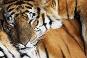 foto of tigress  - portrait of a Siberian Tiger laying in a field of tall grass - JPG