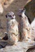 pic of meerkats  - photo of two alert meerkats sitting on a log - JPG