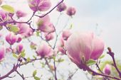 foto of magnolia  - Blooming magnolia tree over blue sky background