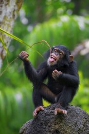 stock photo of chimp  - Young Common Chimpanzee sitting in the wild - JPG