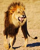 Lion showing Flehmen response