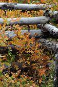 Ranch Fence With Scrub Oak