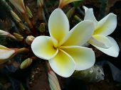 A Beautiful White And Yellow Flower