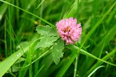 The clover in grass
