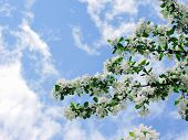 Blooming Apple Tree In The Spring Garden. Beautiful Apple Blossom.close Up Of Tree Blossom In April. poster
