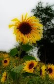 A Sunflower Dares To Stand Out