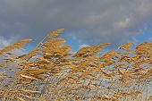 Golden Reeds Blowing In The Wind