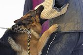 stock photo of infraction law  - German Shepherd trained detention humans  - JPG
