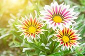 Flower In Garden At Sunny Summer Or Spring Day. Flower For Postcard Beauty. Flower For Decoration An poster