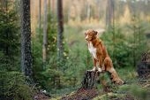 Nova Scotia Duck Tolling Retriever In The Forest. Pet For A Walk In Nature. Hike With A Dog poster