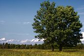 Oak On The Rural Field