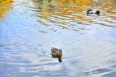 Mallard Duck And Drake Swimming In The Lake