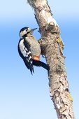 A female of Syrian Woodpecker on branch / Dendrocopos syriacus