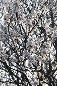 Plum-Tree Branch In Bloom