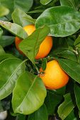 stock photo of tangelo  - Oranges on a tree in New Zealand - JPG