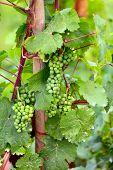 Vine Plants