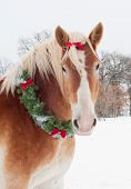 Christmas horse - a blond Belgian draft horse wearing a wreath and bow with snow falling