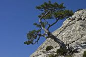 Pine On A Cliff.