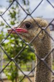 picture of feeling stupid  - Beautiful funny ostrich close - JPG
