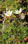 stock photo of meadowsweet  - Two anemones in the grass in nature - JPG