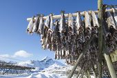 Fish hang on drying rack in Norwegian fishery