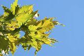 Plane-tree Leaves