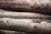 Trees Damaged By Bark Beetle