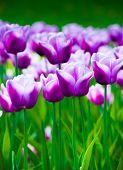 Vivid Violet Tulips, Spring