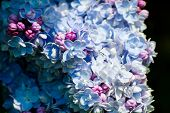 Gorgeous Blue And Purple Lilac