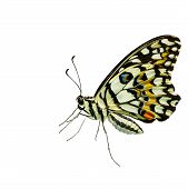 Lime Butterfly On White Background With Clipping Path