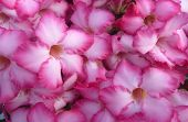stock photo of desert-rose  - Desert rose Impala Lily Azalea for texture