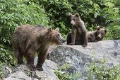 picture of bear-cub  - USA - JPG
