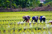 stock photo of farmer  - Farmers planting rice in Thailand - JPG