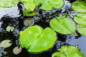 Bright green lilly pad on pond