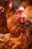 foto of hen house  - Traditional free range poultry farming - JPG