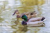 Mallard Drake And Duck Swimming