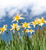 Field Of Narcissus Flowers Above Blue Cloudy Sky