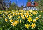 Abandoned Field Of Narcissus Flowers With Old Classical Summer Cottage In The Background