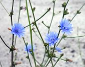 pic of chicory  - Macro of blue chicory flowers on gray background - JPG